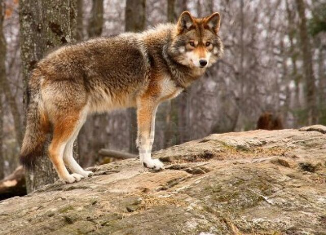 File:861539-coyote-standing-on-a-rock.jpg