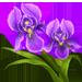 File:Iris.png