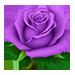 PurpleRose-0