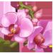 OrchidFlower