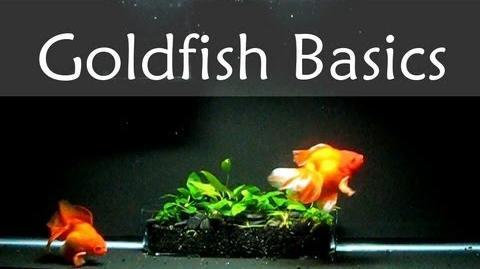 Goldfish Care Basics Tank Size