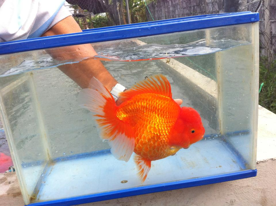 73204 10200318660035785 1889957270 N The Minimum Tank Size For Fancy Goldfish