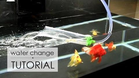 Water Change Tutorial Goldfish Care