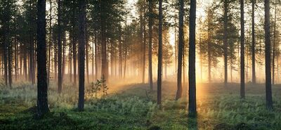 Zweden-bos-ondergaande-zon-bron-tomas-utsi