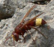 Oosterse hoornaar Vespa orientalis (1)