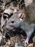 Rattus norvegicus 1