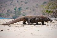 California-Komodo-dragon
