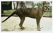 Thylacine by fulmar1-d9pupms