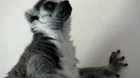 Briddle-Tailed Lemur Sounds