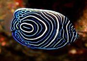 Striped Zebra Angelfish