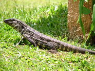 California-Argentine-black-and-white-tegu