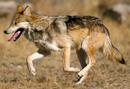 Texas gray wolf