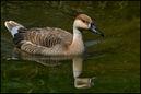 CA SwanGoose01