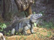 California-cuban-iguana