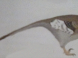 White-Masked Wounder