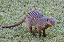 IMG 3955 Banded Mongoose, Zambia 10x15 250412