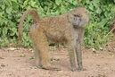 Olive baboon Ngorongoro 2010