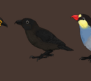 American Vampire Finches