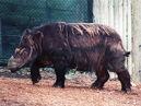 Sumatran-rhinoceros img01-l