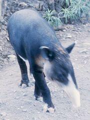 Albinotapir