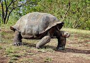 California-Galapagos-tortoise