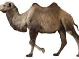 Camelus knoblochi (SciiFii)