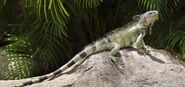California-green-iguana