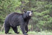 Black-Bear-8589