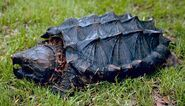 California-alligator-snapping-turtle