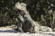California-rhinoceros-iguana