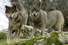 Mogollon Mountain wolf