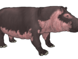 Domestic Hippopotamus