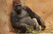 Safari park gorilla