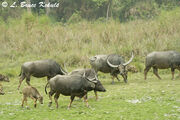 Wild-water-buffalo-herd-in-Florida