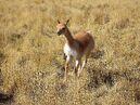 Female Vicuña running