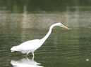 Great egret b sideview