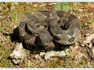 Sp timberrattlesnake007