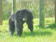 Everglades Chimpanzee