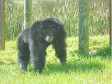 Florida and California Chimpanzees