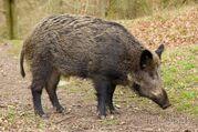Wild-boar-festival