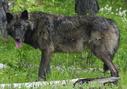 Cascade Mountain wolf