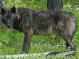 Arapaho Gray Wolf (New Pleistocene)