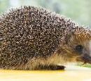 Saber-Tooth Hedgehog