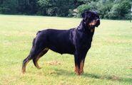 Rottweiler-3