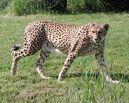 Cheetah-06