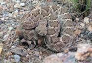 Western diamondback rattlesnake 4