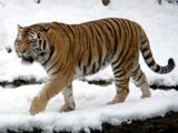 North American Tiger