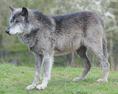 Northern gray wolf