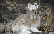 Antarctic Hare