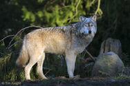 Graywolf 2836tfk1